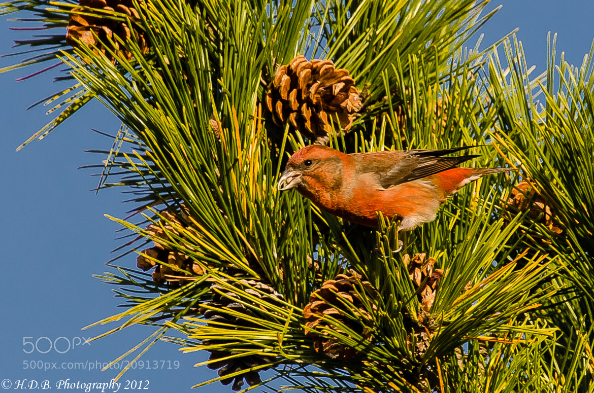 Photograph Red Crossbill, Male by Harold Begun on 500px
