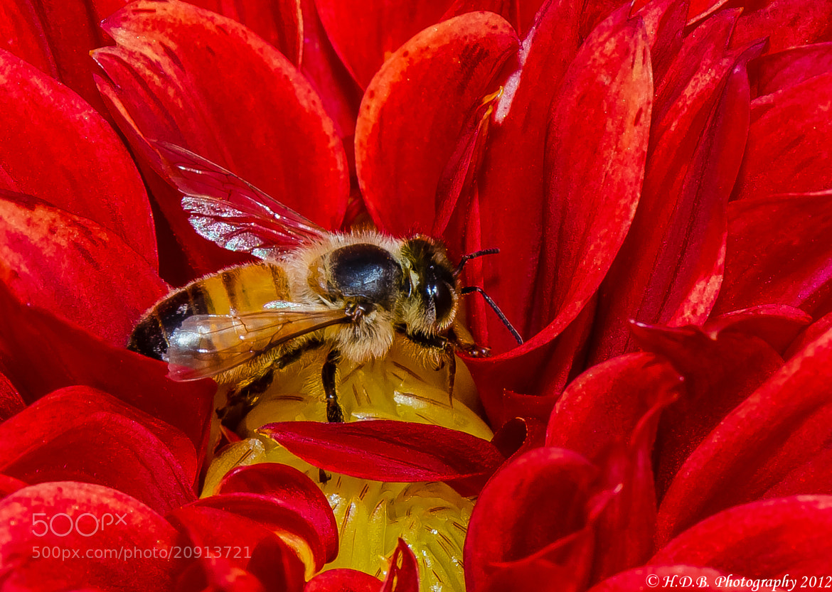 Photograph Dalhia And The Bee by Harold Begun on 500px