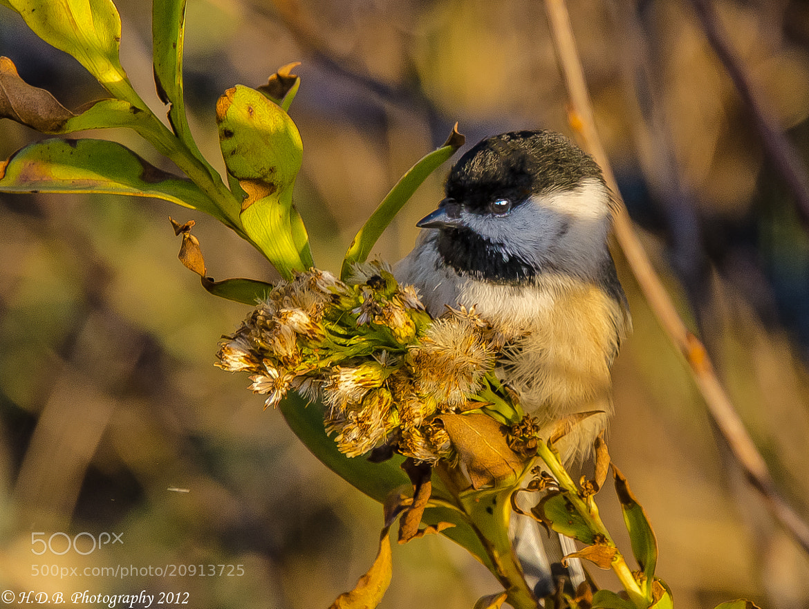 Photograph Sunrise Chickadee by Harold Begun on 500px
