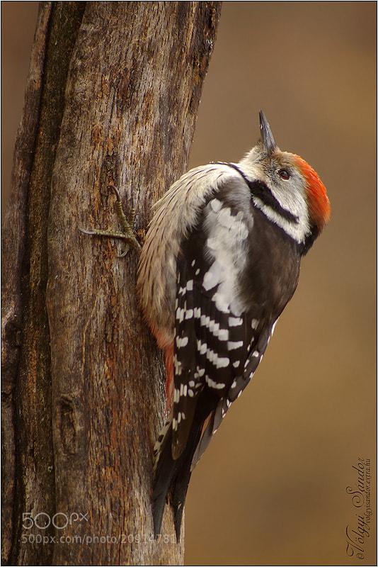 Photograph Middle Spotted Woodpecker by Sándor Völgyi on 500px