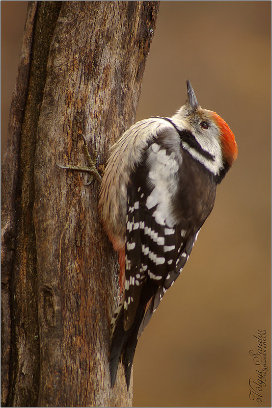 Photograph Middle Spotted Woodpecker by Sándor Völgyi on 500px
