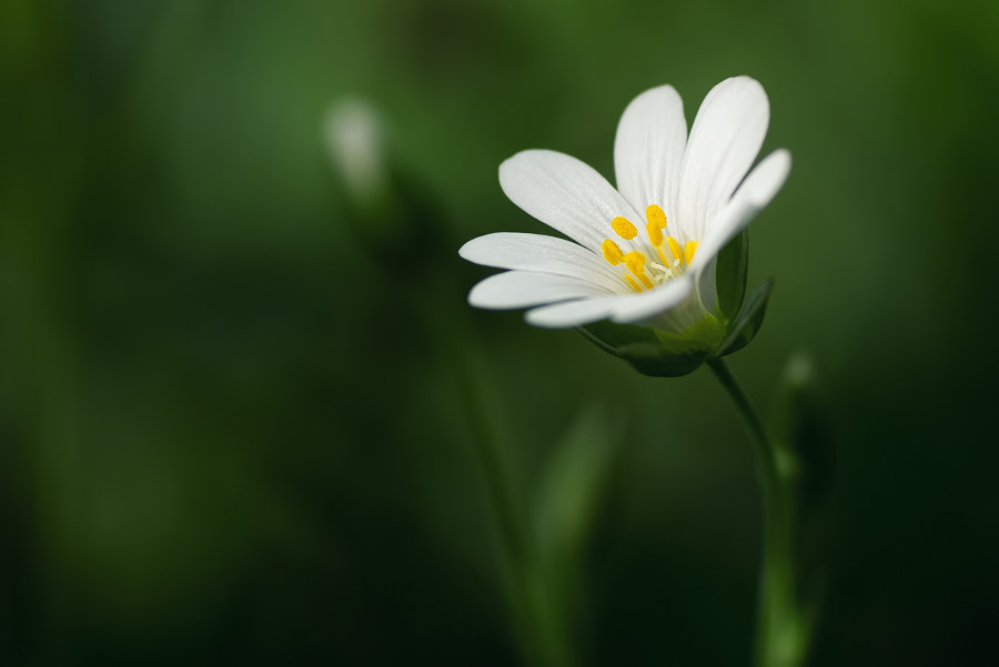 Photograph Little flower by Stéphane ABCDEF on 500px