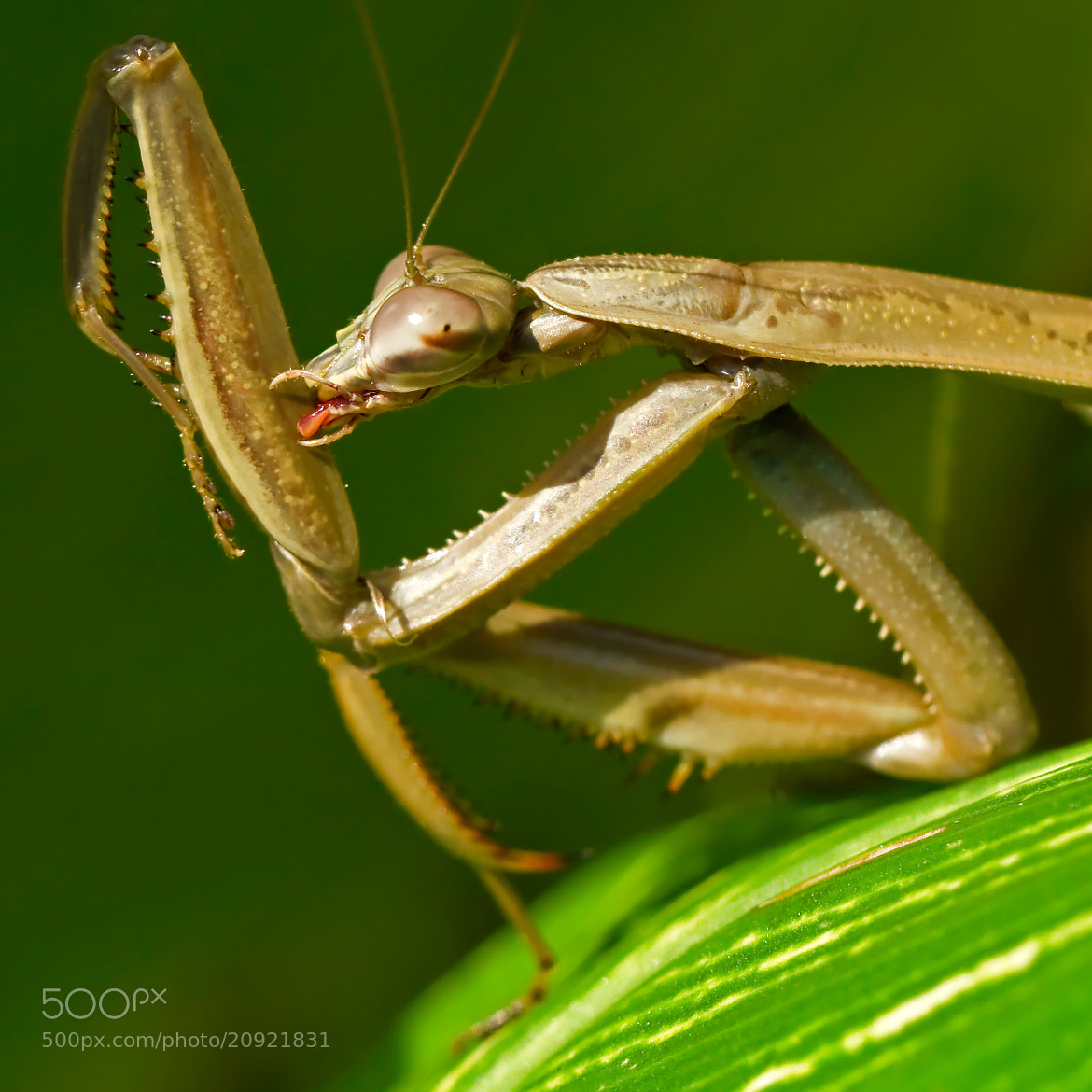 Photograph Mantis by Lorraine Hudgins on 500px