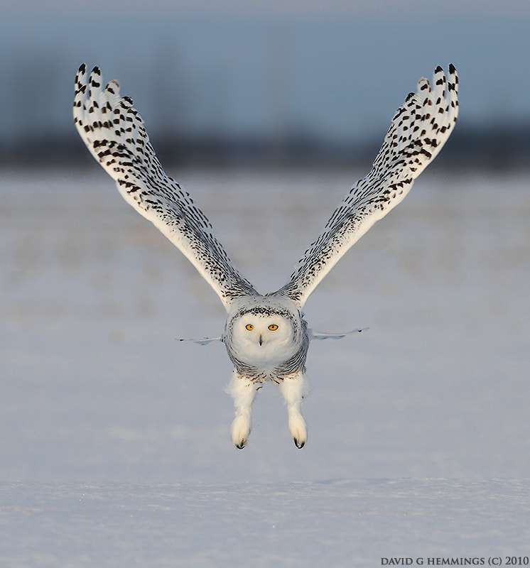 Photograph Snowy Owl by David Hemmings on 500px