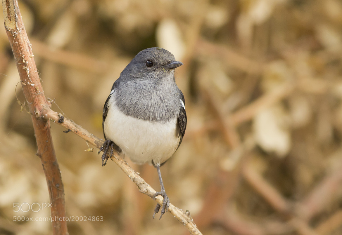 Photograph Oriental Magpie Robin - Female by Mohamed Mothi on 500px