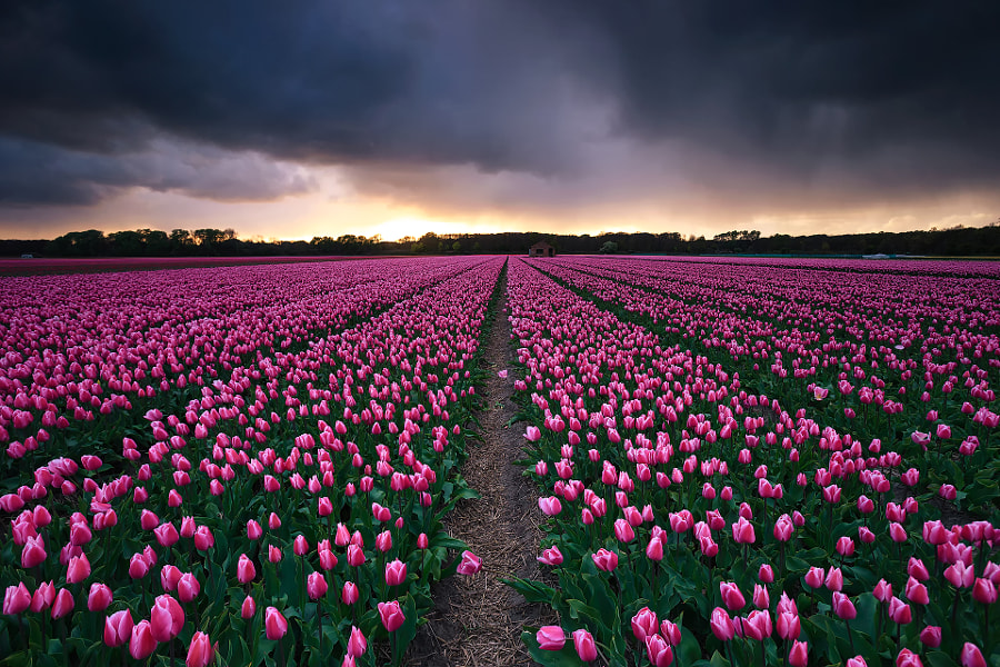 Flower fields, The Netherlands by Sven Broeckx on 500px.com