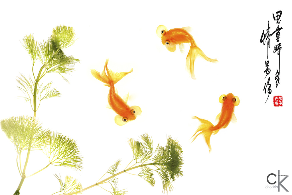 Photograph Goldfish  by CK NG on 500px