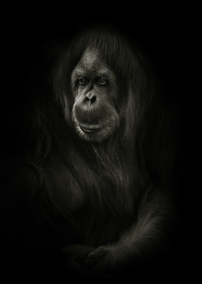 Photograph Orangutan Portrait by Steve Kotler on 500px