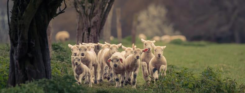 Lamb gang 2