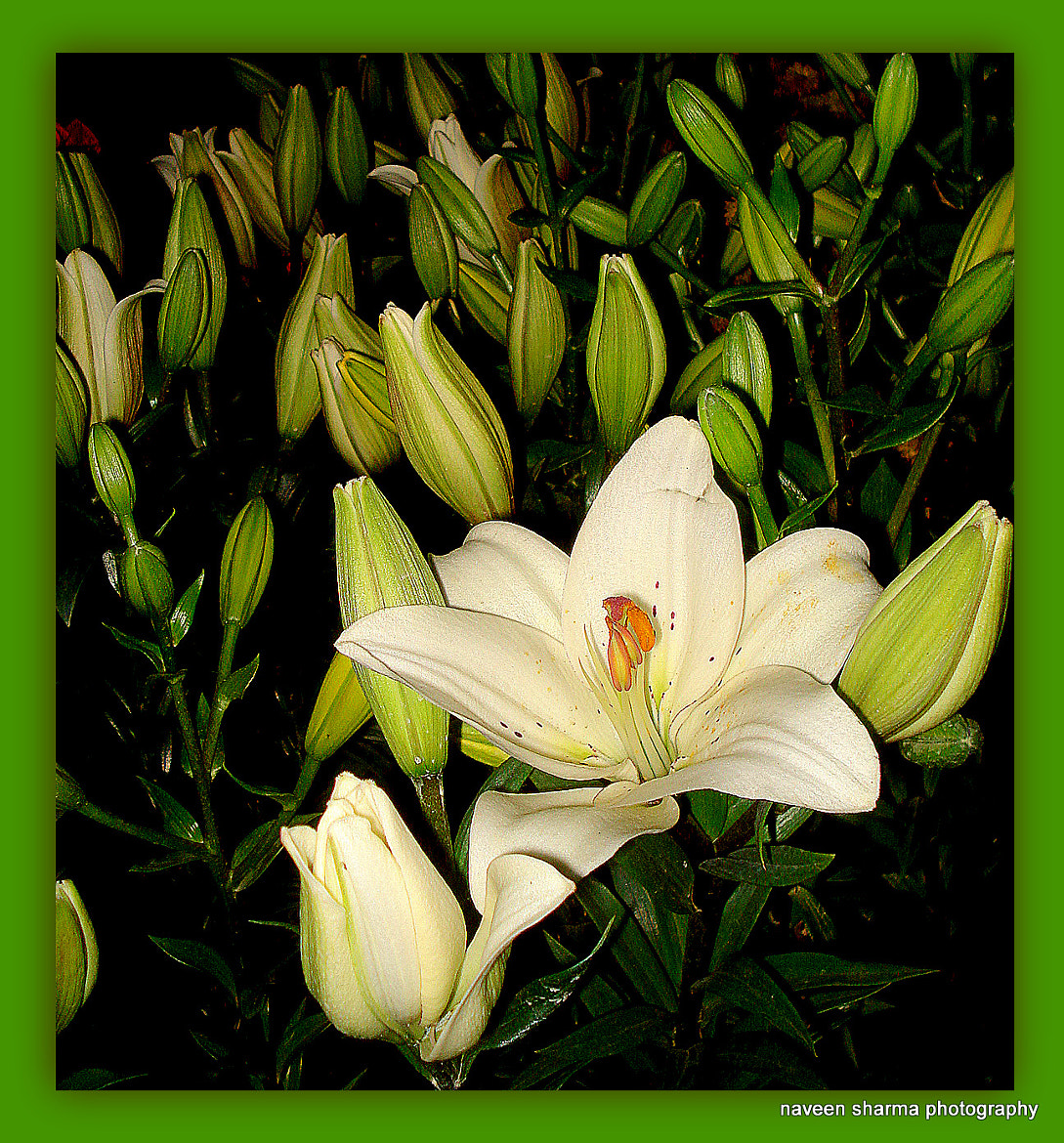 Photograph WHITE LILY N BUDS by naveen sharma on 500px
