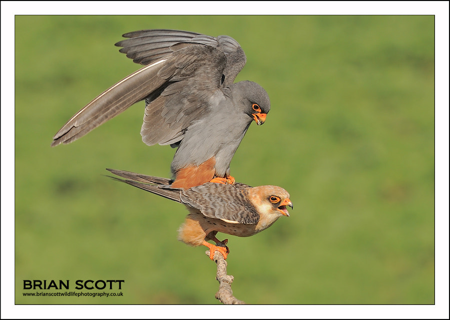 Photograph Red-footed Falcon's by Brian Scott on 500px