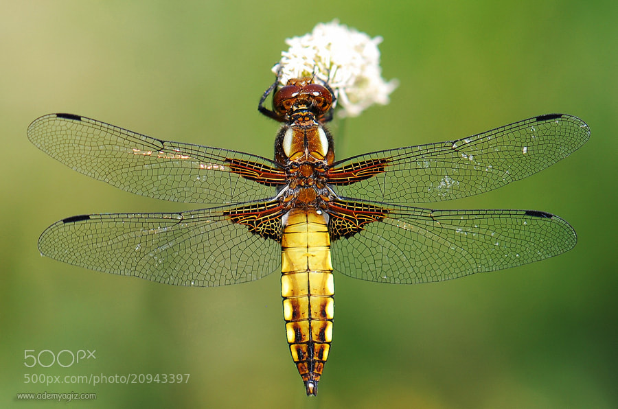 Photograph yusufçuk (Dragonfly) by Adem Yağız on 500px