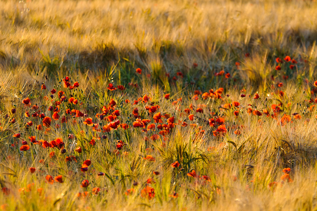 Photograph Poppys by Miguel Ángel Fernández Sáinz on 500px