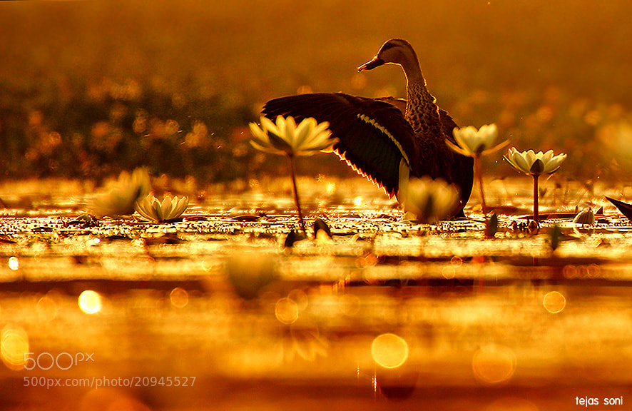 "Photograph ""Golden bath"" by Tejas Soni on 500px"