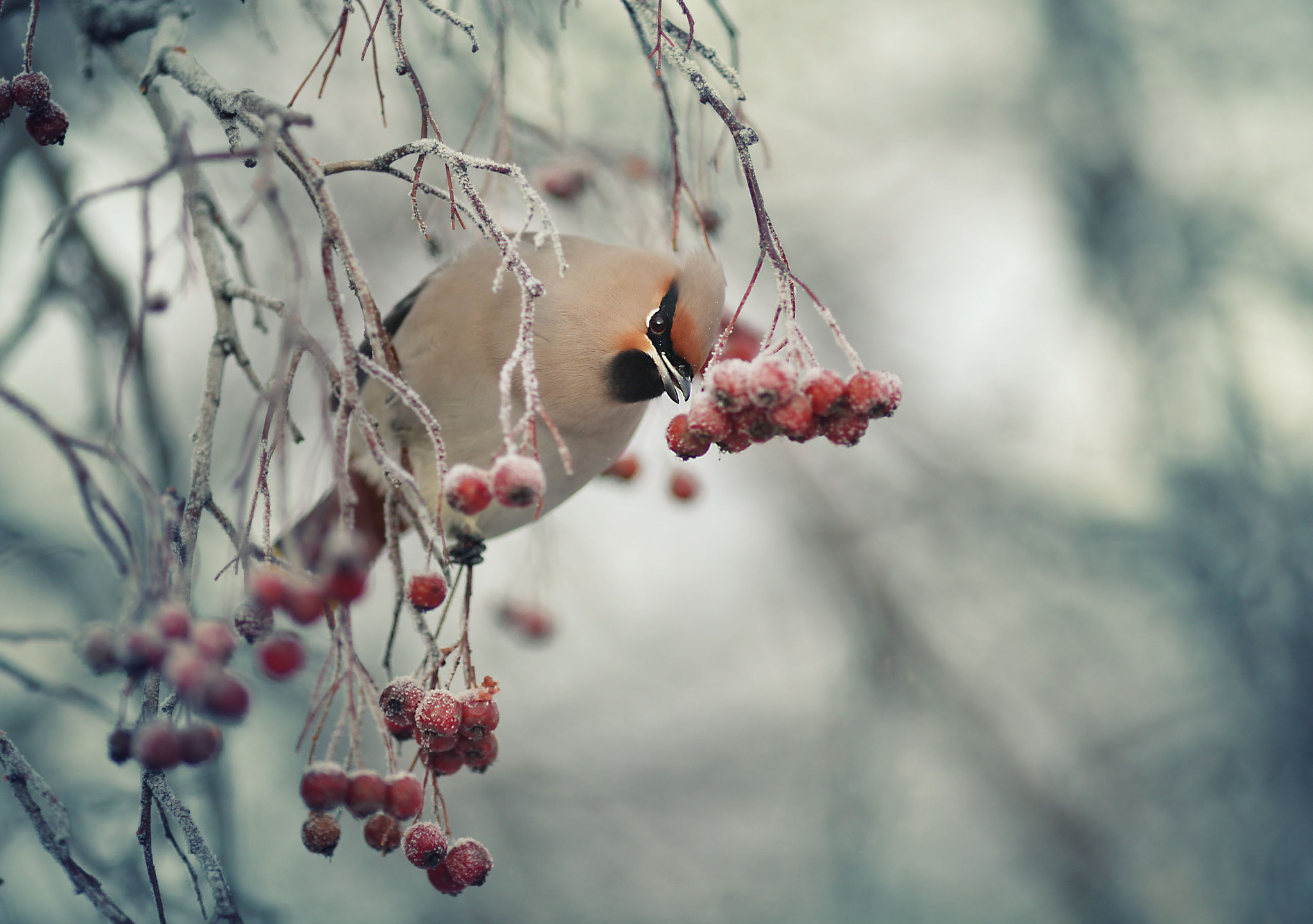 Photograph waxwing in Russia by Kichigin Sergey on 500px