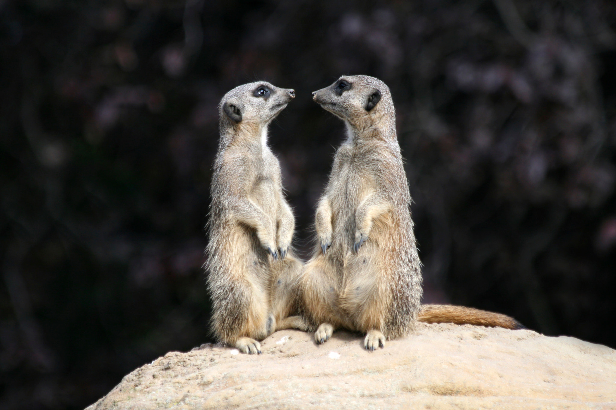 Photograph Meerkats in Love by Patrick Ambrose on 500px