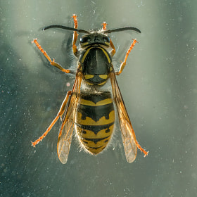 Queen wasp at glass pane