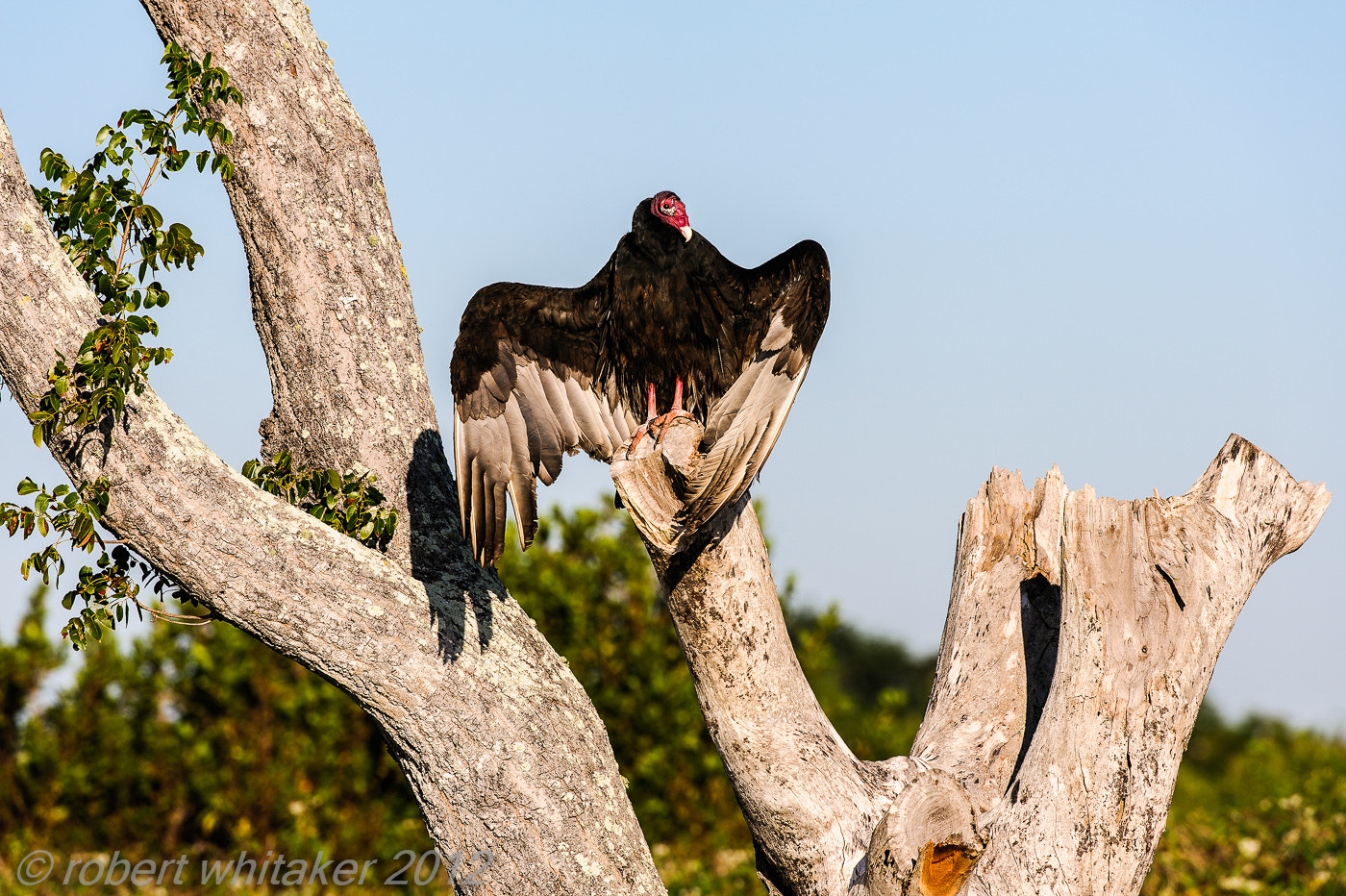 Photograph Turkey Vulture by Robert Whitaker on 500px