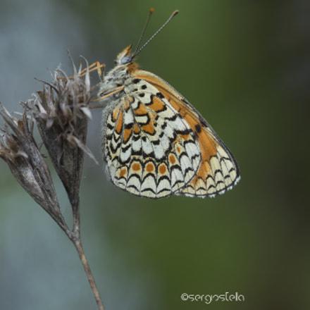 Melitaea phoebe______