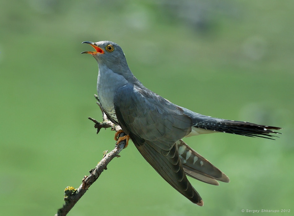 Photograph Common Cuckoo by Sergey Shkarupo on 500px