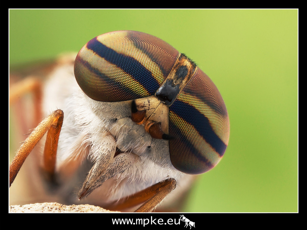 Photograph Horse fly, 7 frame stack by Maxim Piessen--mpke-- on 500px