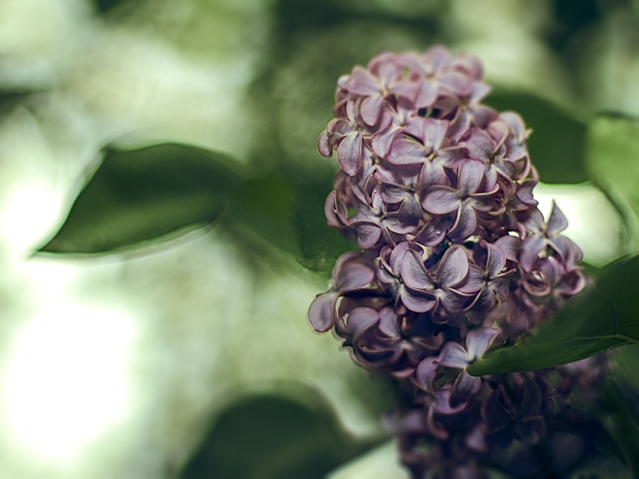 April Lilacs by Jeff Carter on 500px.com