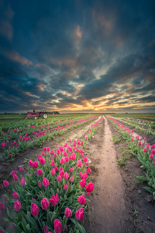 Endless tulip field by William Lee