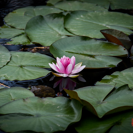 Lotus in SCU