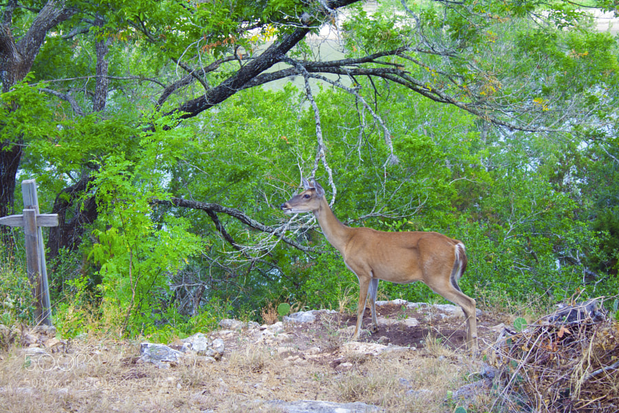 Wild deer rooming the land in Spicewood, Texas.