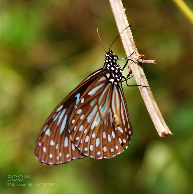 Photograph Buterfly  by Toliq Anshari on 500px