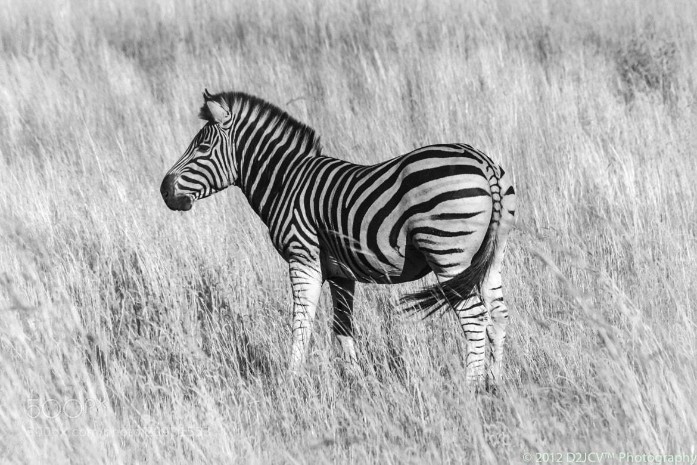 Photograph B&W:Zebra:1 by Daniel J. Cummuta on 500px