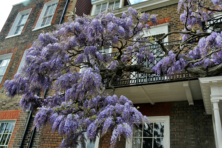 Wisteria In London by Sandra on 500px.com