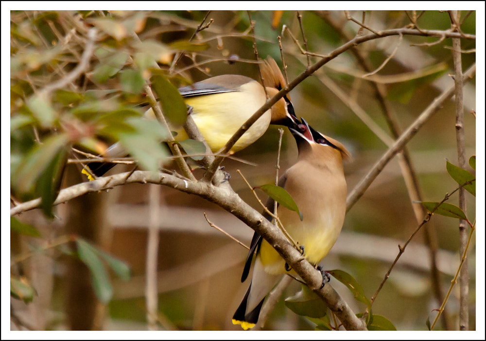 Photograph Waxwing love by Sherry Boylan - Band-tographer on 500px