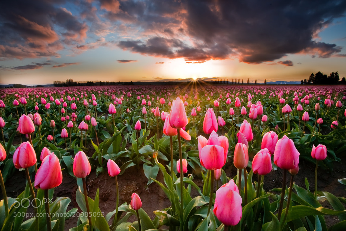 Photograph Pink Tulip Serenity by David  Forster on 500px