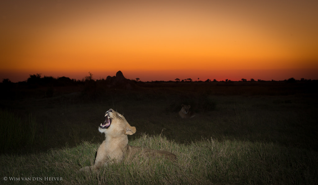 Photograph Lion Sunset by Wim van den Heever on 500px