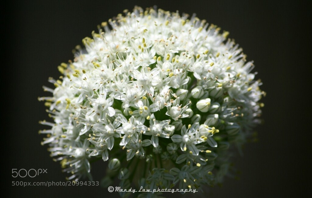 Photograph Onion Flower by Mandy Law on 500px