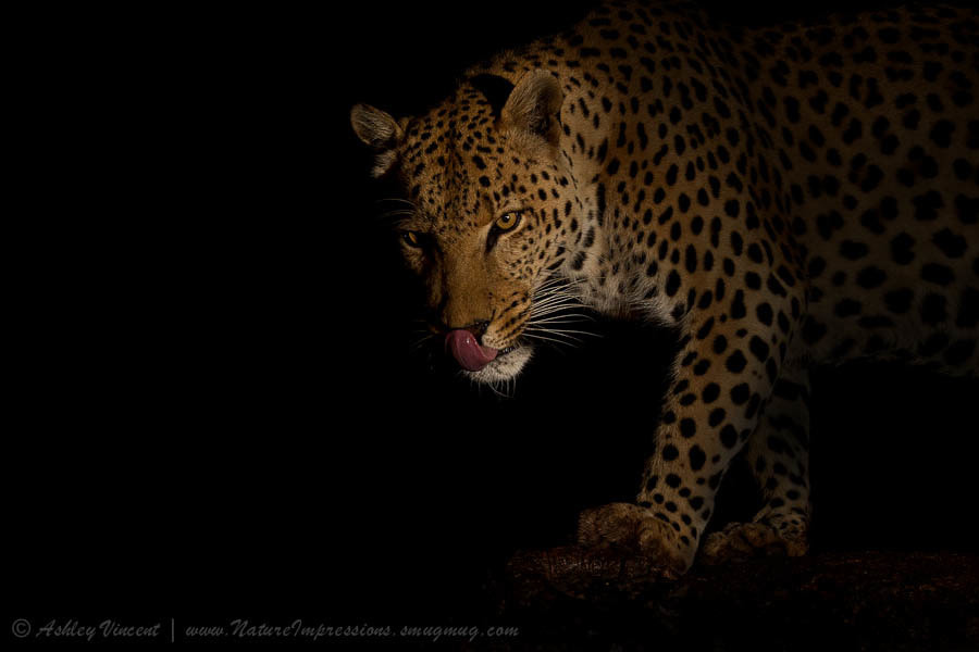 Photograph Night Stalker by Ashley Vincent on 500px