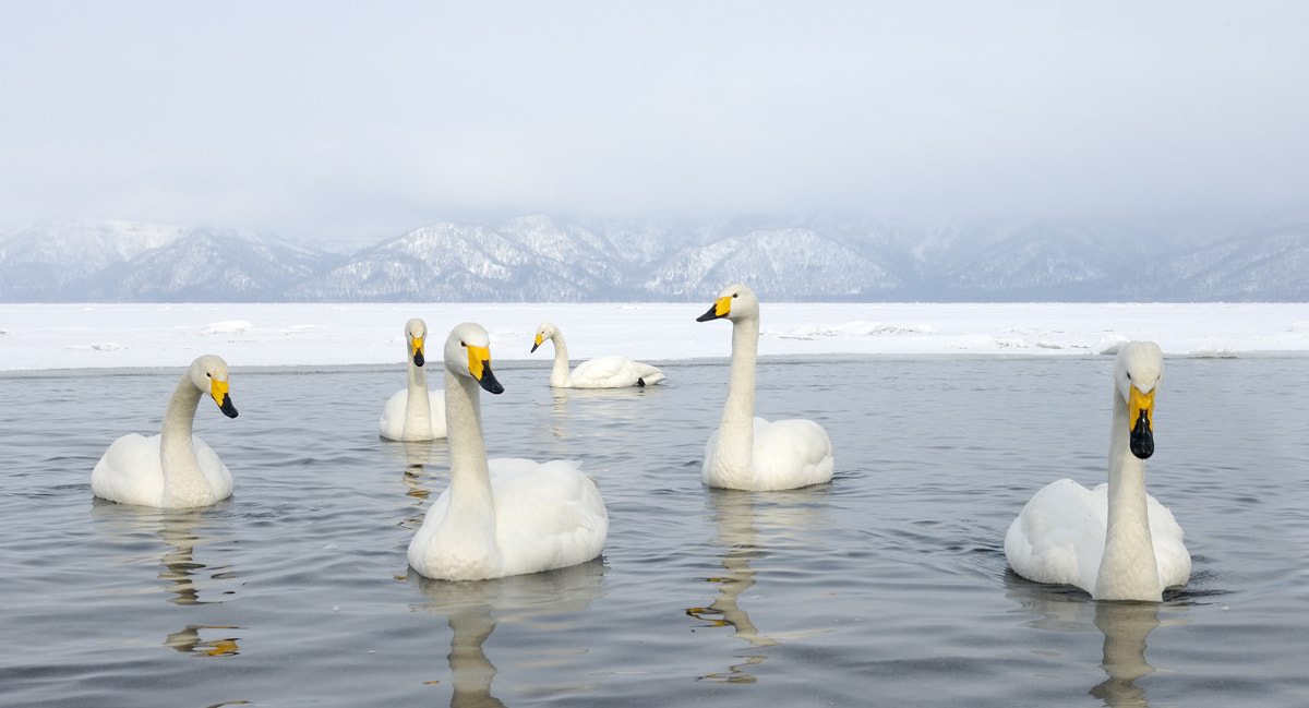 Photograph Whooper Swan Territory by Harry  Eggens on 500px