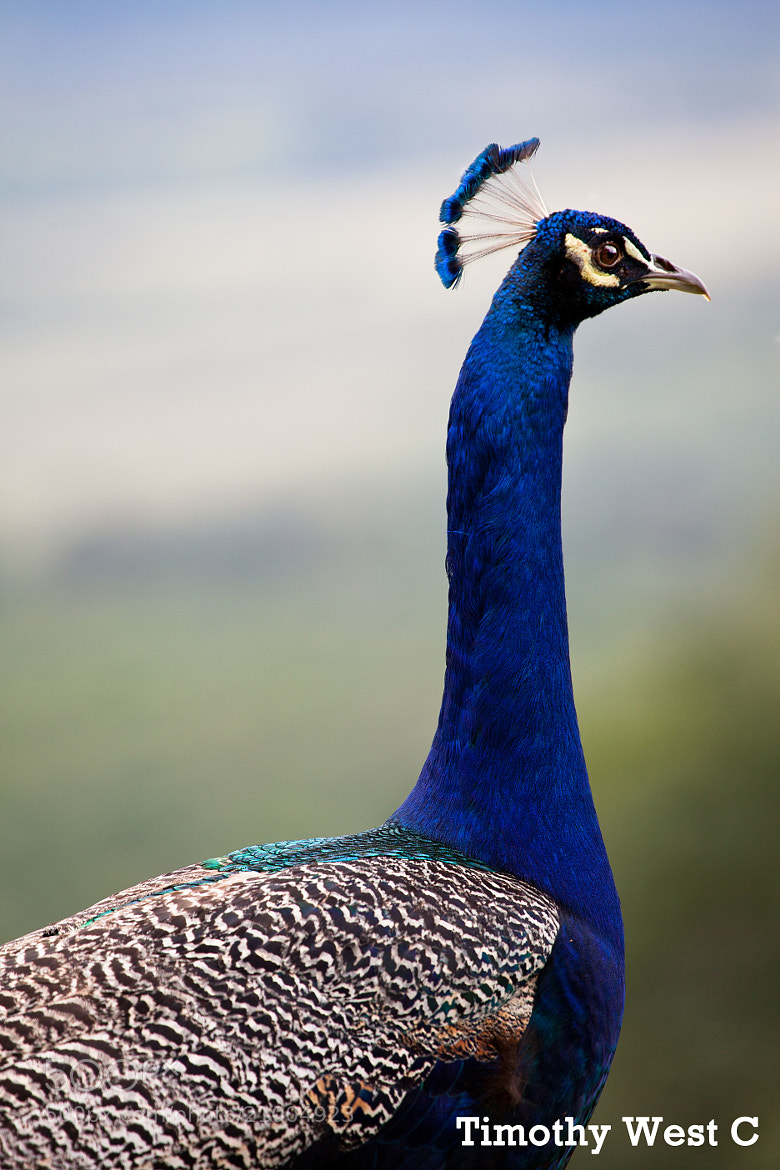 Photograph Peacock Portrait Africa  by Timothy West on 500px