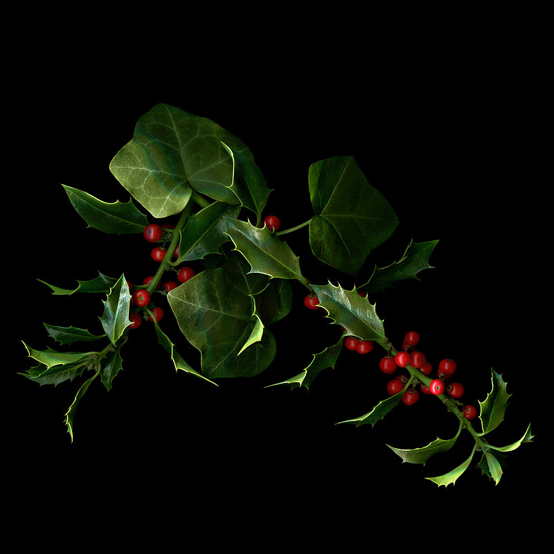 Photograph THE HOLLY AND THE IVY by Magda Indigo on 500px