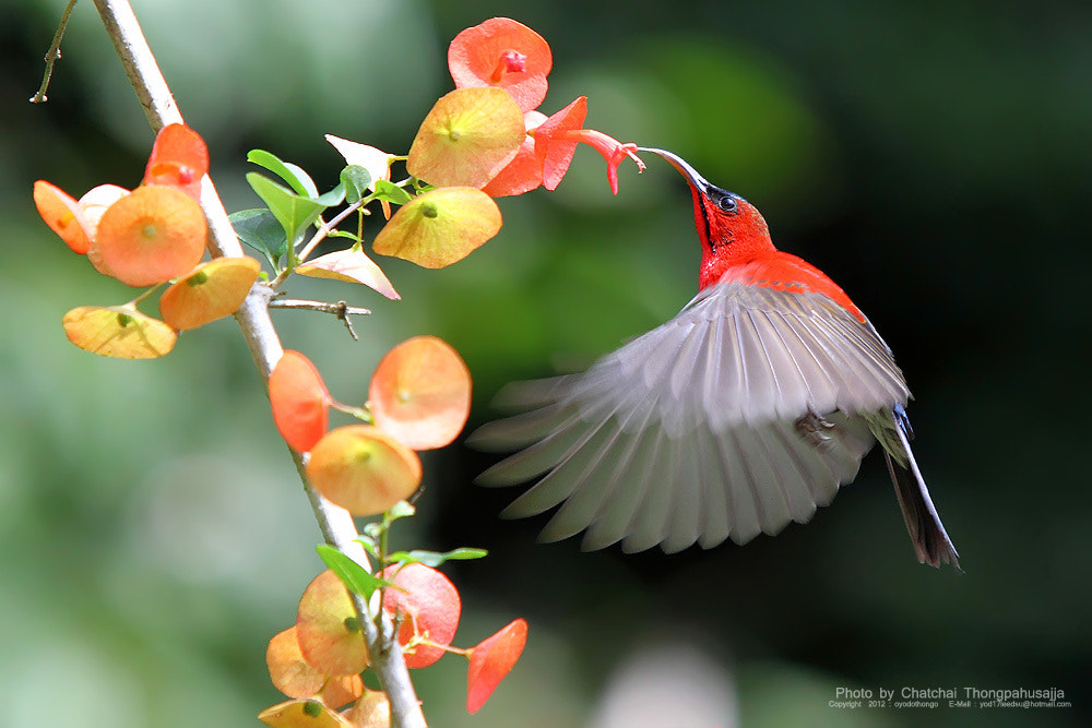 Photograph Crimson Sunbird  by Chatchai Thongpahusajja on 500px