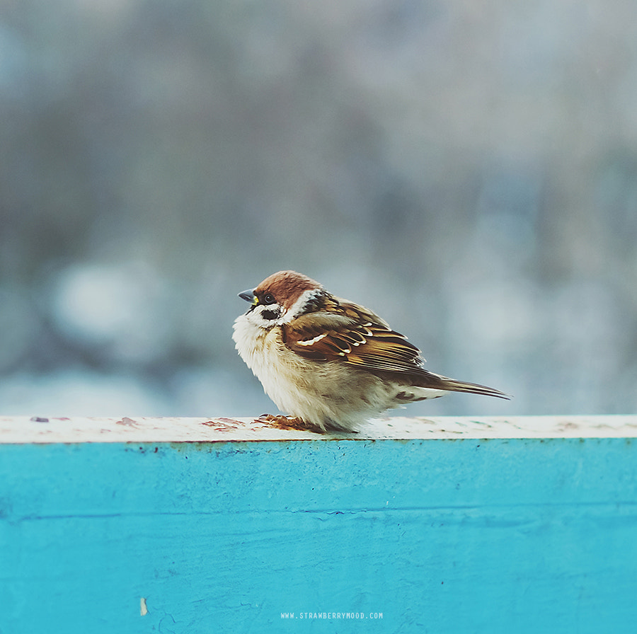 Photograph Sparrow on our balcony by Julia Krasovskaya on 500px