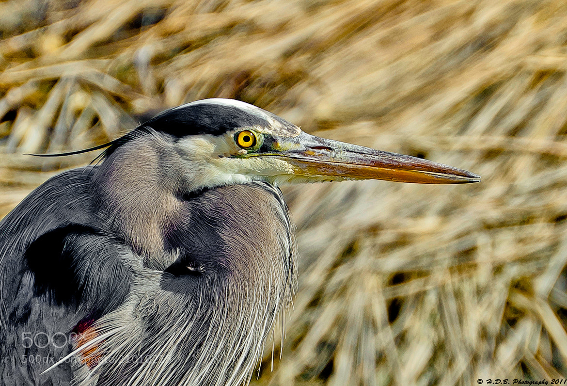 Photograph Great Blue Heron Portrait by Harold Begun on 500px