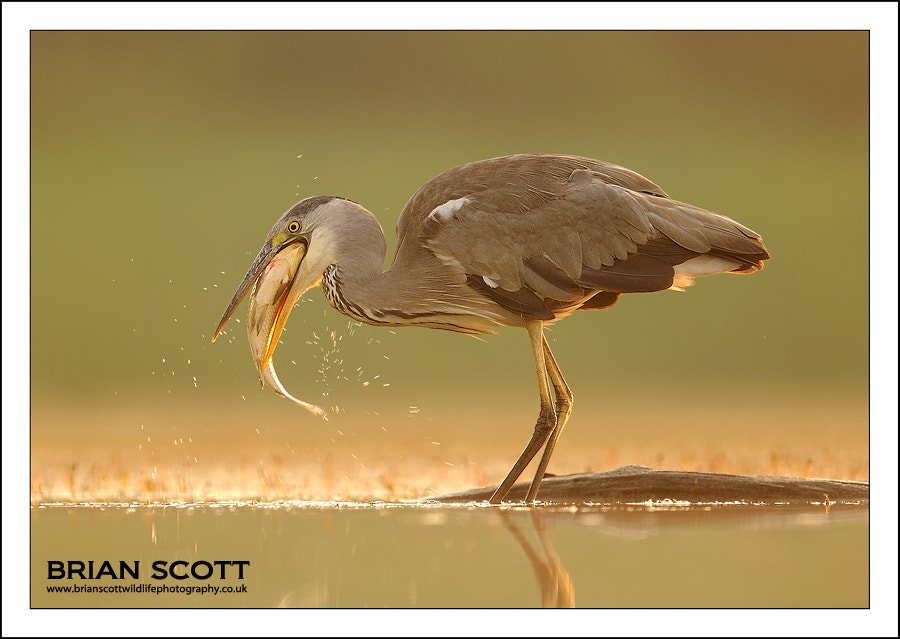 Photograph Grey Heron by Brian Scott on 500px