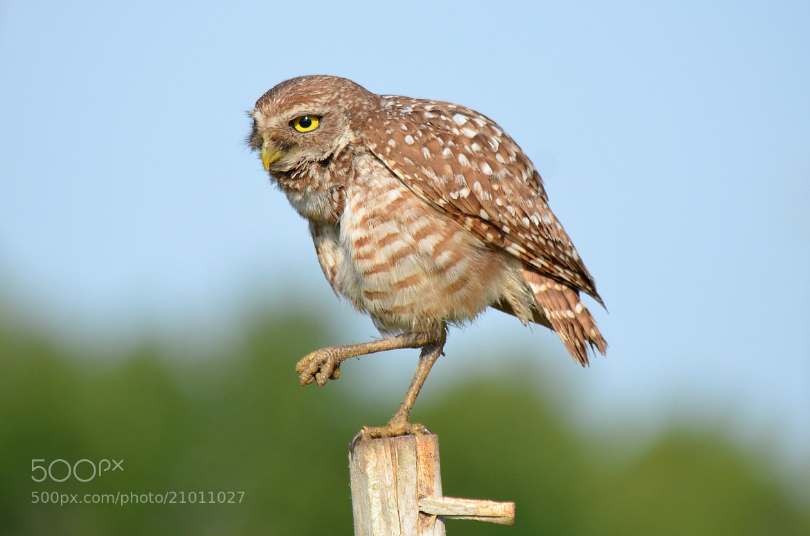 "Photograph ""Owl Doing The Crane"" by Peter Brannon on 500px"