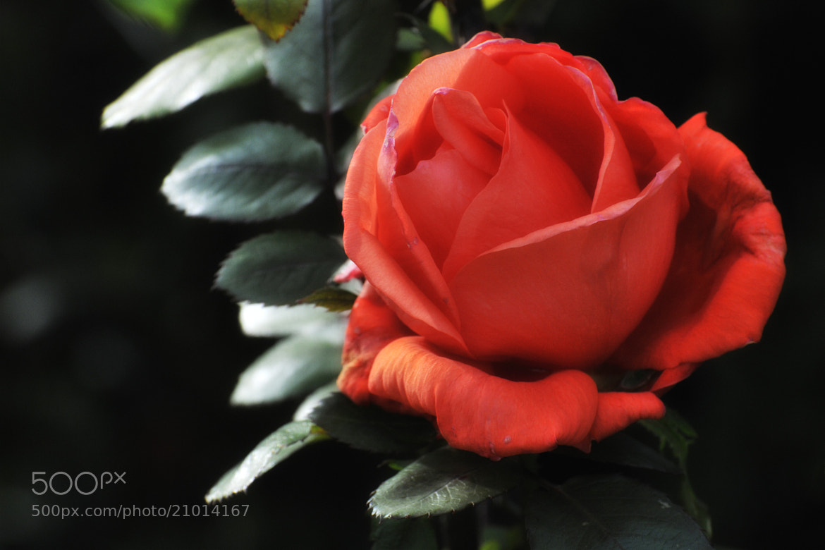 Photograph My Rose by Luís Galvão on 500px