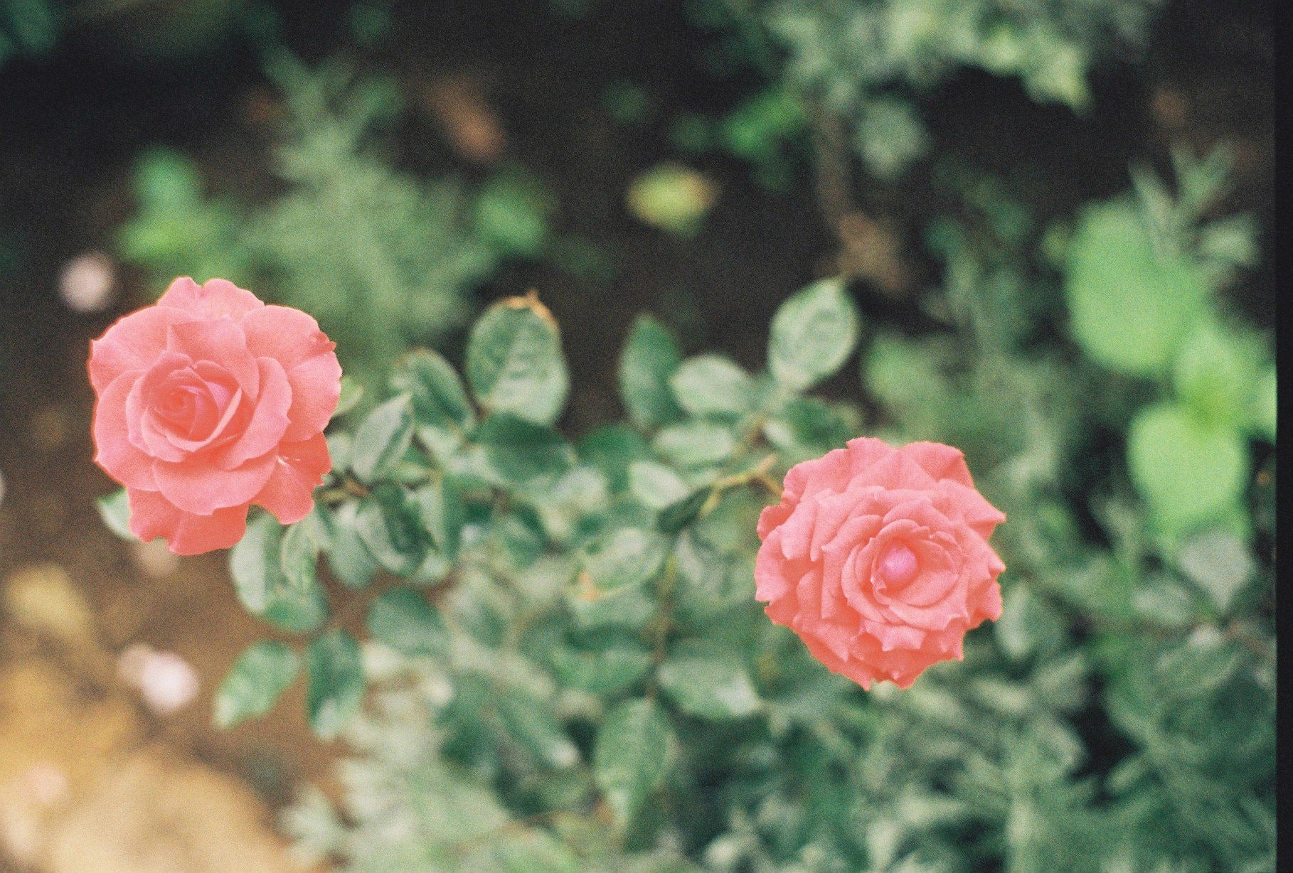 Photograph Roses by Ronald Carlo Lajara on 500px