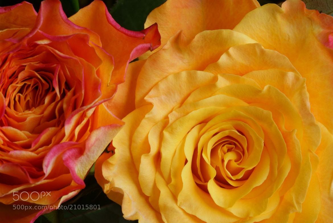 Photograph Two Roses by Lillian Arnold on 500px