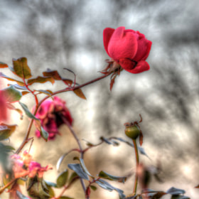 Detail from a larger 3-image HDR photo of roses in a local park.  Normally I don't care for unnatural-looking HDR images, but something about this one really appealed to me.