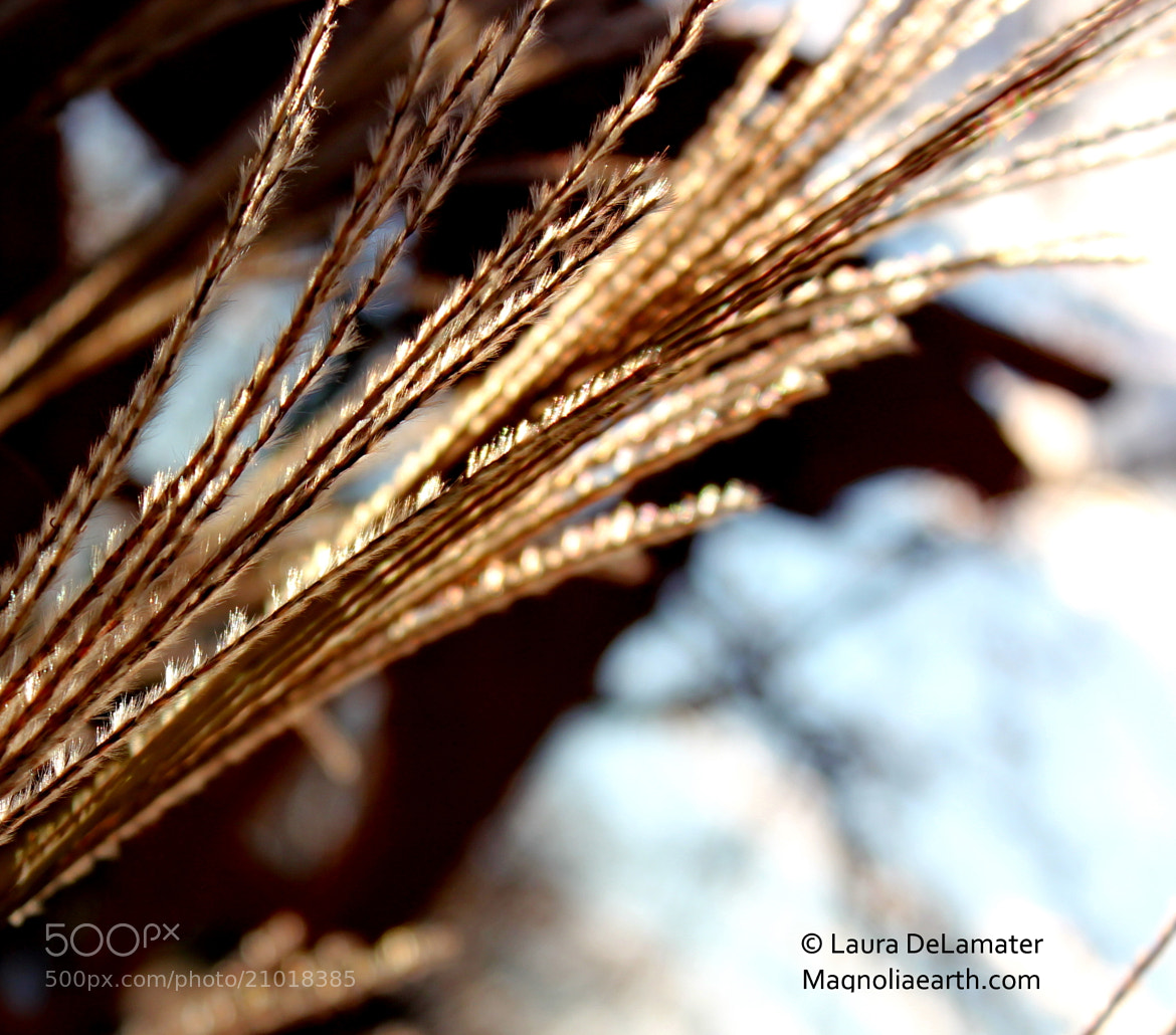 Photograph Flaming Grass by Laura DeLamater on 500px